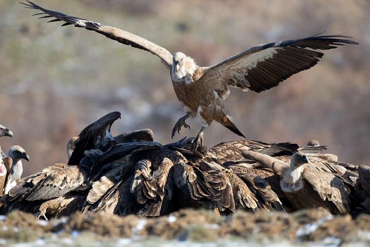 Vultures Bulgaria