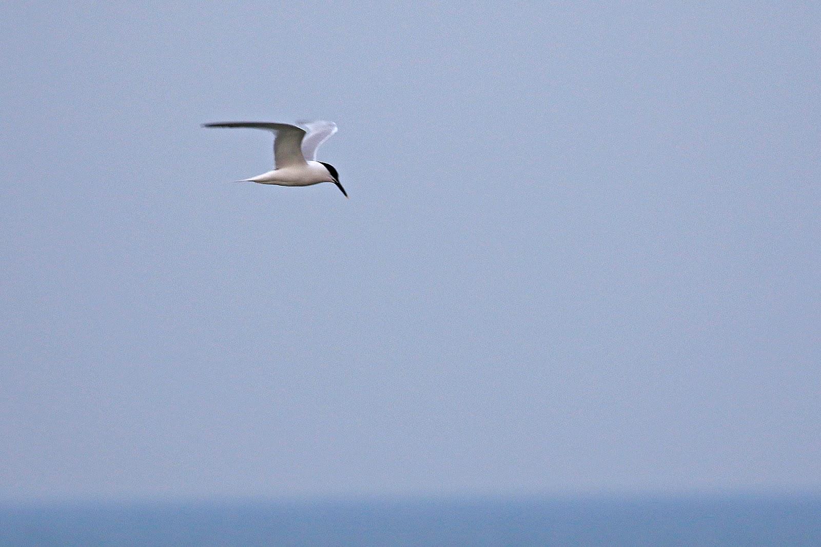 001 Sandwich Tern
