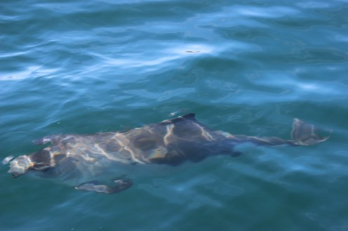 harbour_porpoise_-_George_11
