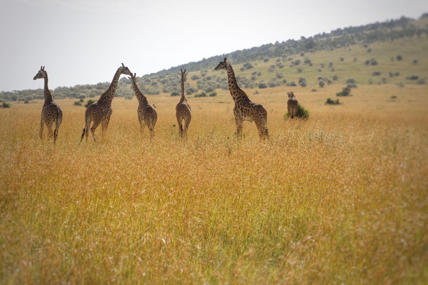 Hunting out the Best East African Safari - Kenya vs