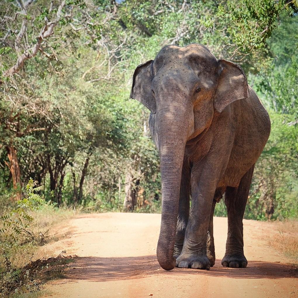 Sri Lanka tourism elephant safari