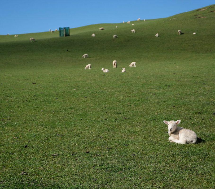 Duder Regional Park new lambs