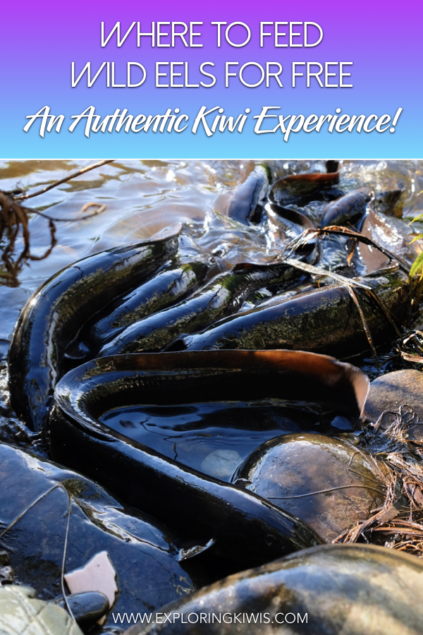 New Zealand is home to an amazing freshwater fish - the eel!  We\'ve got just the spot for you to feed these intriguing creatures for free in the South Island of New Zealand.  Don\'t miss your chance to get up close to these guys on your trip to Aotearoa!