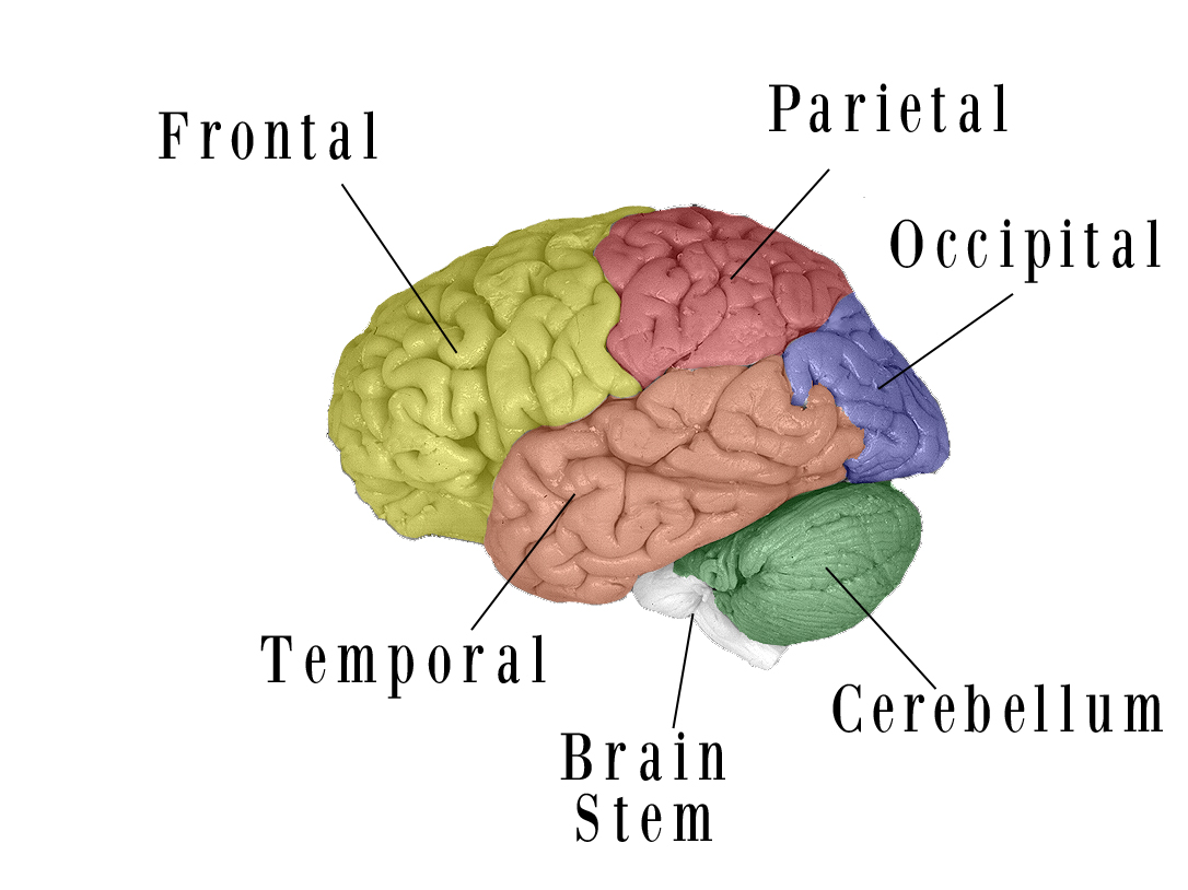 Fig 6 Colored Brain Final Labels
