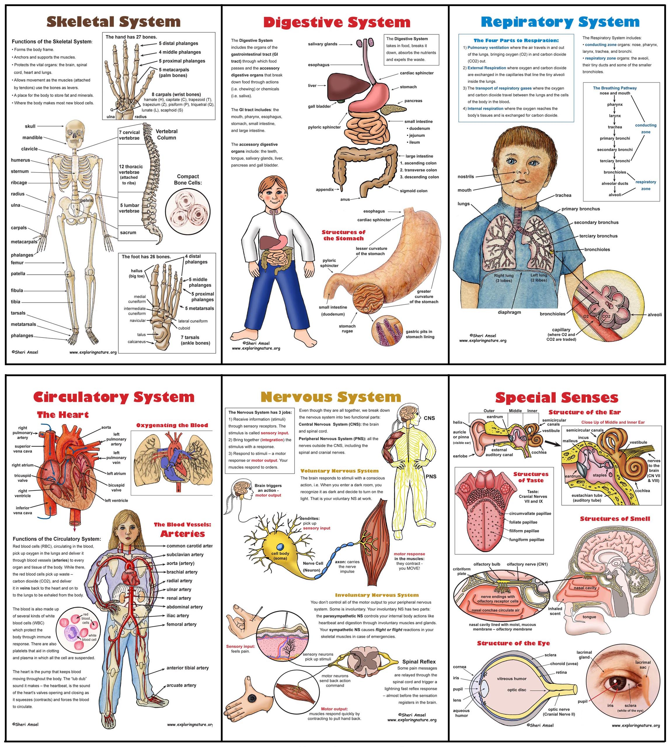 Body Systems Poster Set 6 Plus Worksheets