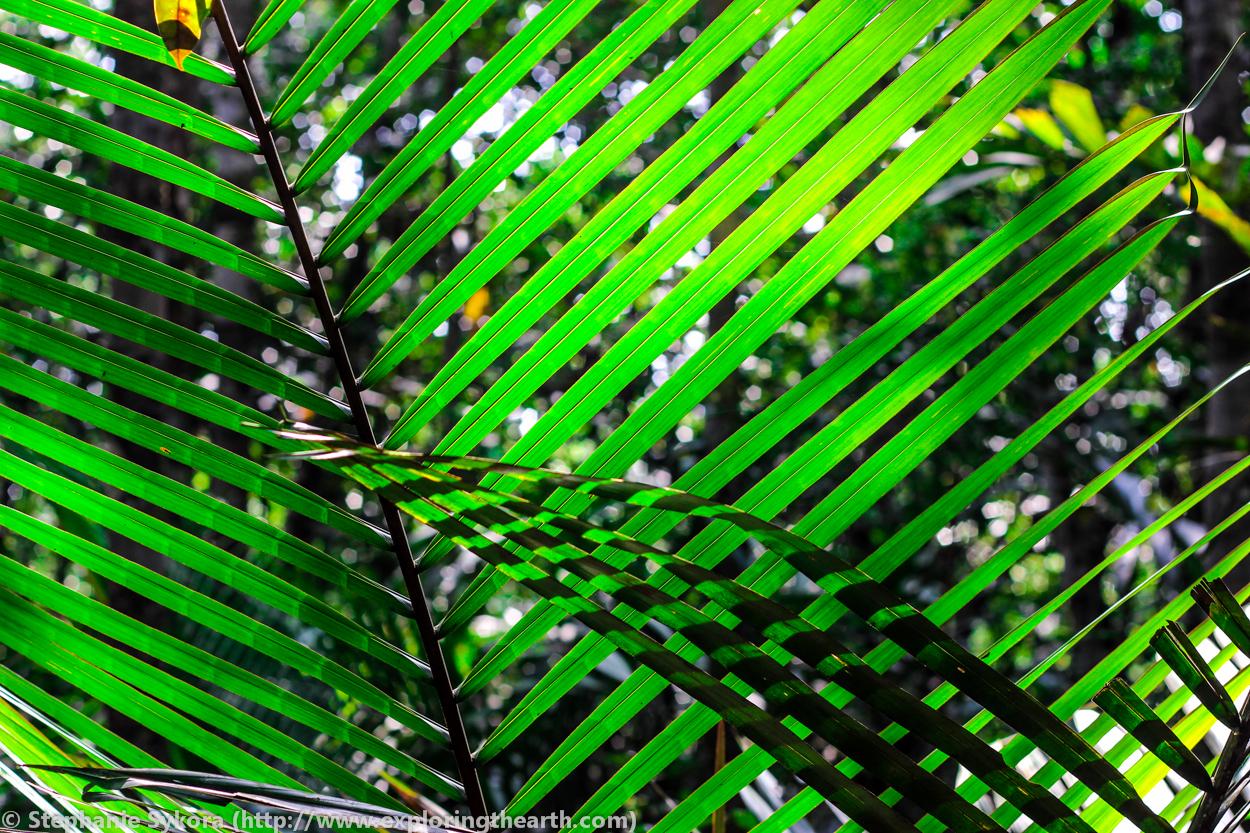 Amazon Bamboo Leaves Brazil 833