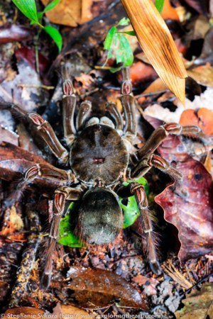 Giant Tarantula Amazon Brazil adventure travel forest spiders South America
