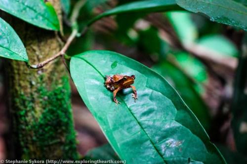 Amazon Rainforest Canopy Brazil forest jungle small tiny animals frogs tree frog poisinous adventure travel jungle South America