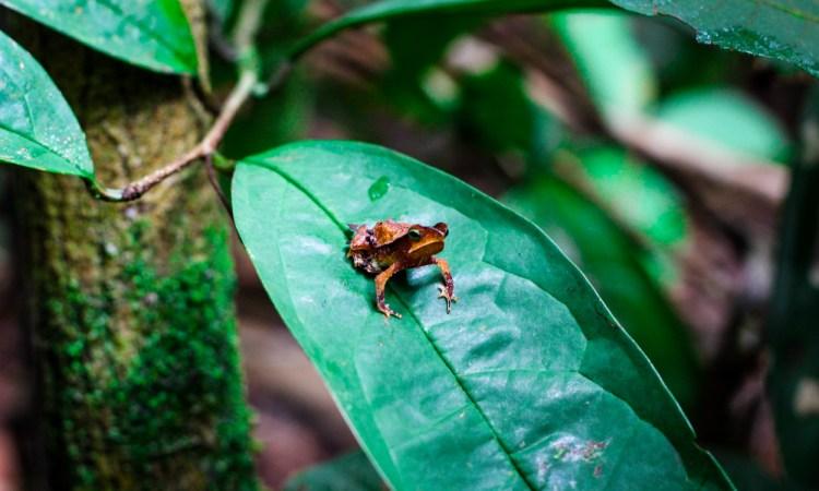 Amazon Rainforest Canopy Brazil forest jungle small tiny animals frogs tree frog poisinous adventure travel jungle