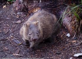 Frenchman's Cap in the Franklin-Gordon Wild Rivers National Park - Tasmania, Australia, Wallaby, Pademelon, Kangaroo, wallabie, versus, wombat, wildlife, animals