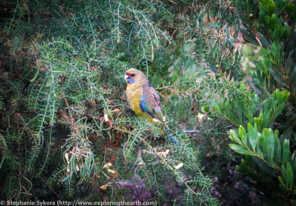 Maria Island, Maria, Tasmania, Australia, geology, travel, blog, adventure, hiking, exploring, earth, science, rocks, nature, geomorphology, Tassie, wildlife, wild, animal, birds, endemic, green rosella, rosella