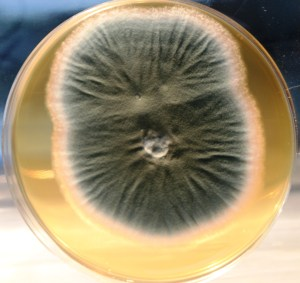 Penicillium roquefortii (Stilton). Isolated from Blue Stilton and forms a hydrophobic mat when grown on milk. Could be used in MycoCouture