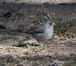 Grey-headed Junco