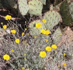 Brittlebrush Flower
