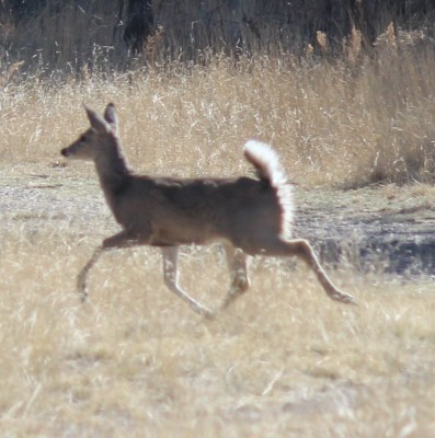 Arizona White-tailed Deer