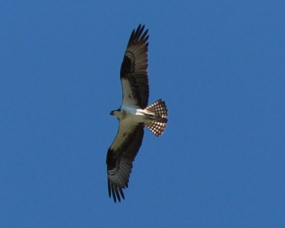 Osprey at Dam