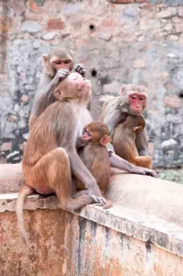 Monkeytemple14 - De monkey temple bezoeken in Jaipur: een aanrader of niet?