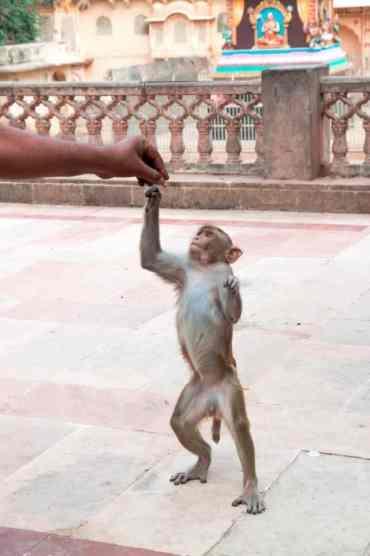 Monkeytemple17 - De monkey temple bezoeken in Jaipur: een aanrader of niet?