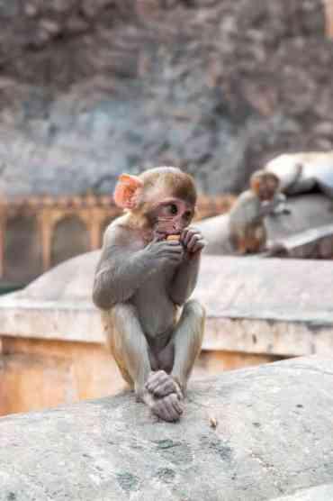 Monkeytemple40 1 - De monkey temple bezoeken in Jaipur: een aanrader of niet?