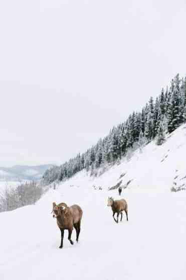 Sheep David Guenther CR 2 1 - Wintersport in Canada: doe een ski & city combi met Edmonton & Jasper!