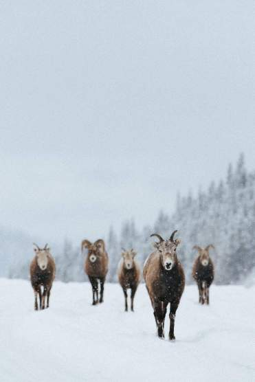 SheepWalking-David Guenther-CR