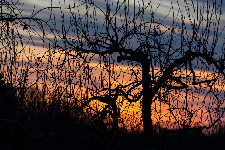 Sunset Through the Orchard