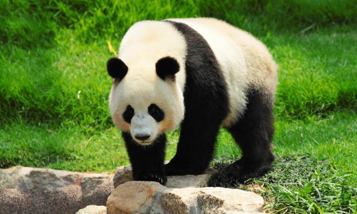 15 most Friendliest Animals In The World,giant panda
