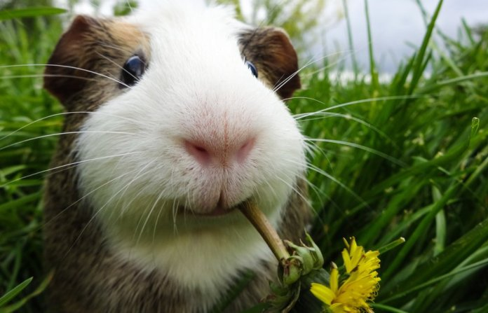 15 most Friendliest Animals In The World,guinea pigs