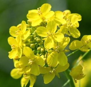 Elixir de Moutarde (Mustard)
