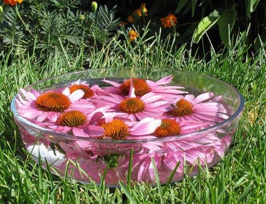 Fabrication d'un élixir floral d'Échinacée - fleur de Bach