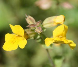 Fleur de Bach Mimulus