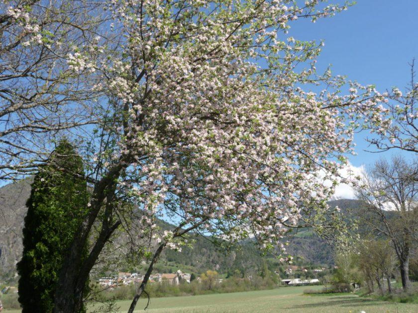 Le Pommier Sauvage, l'arbre