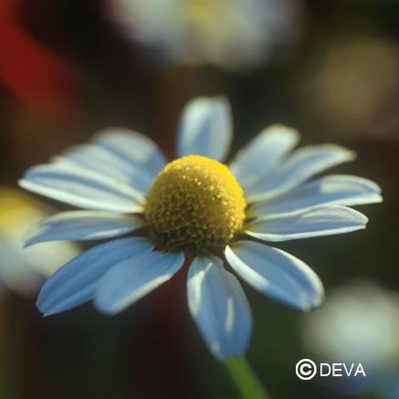 La fleur de Camomille