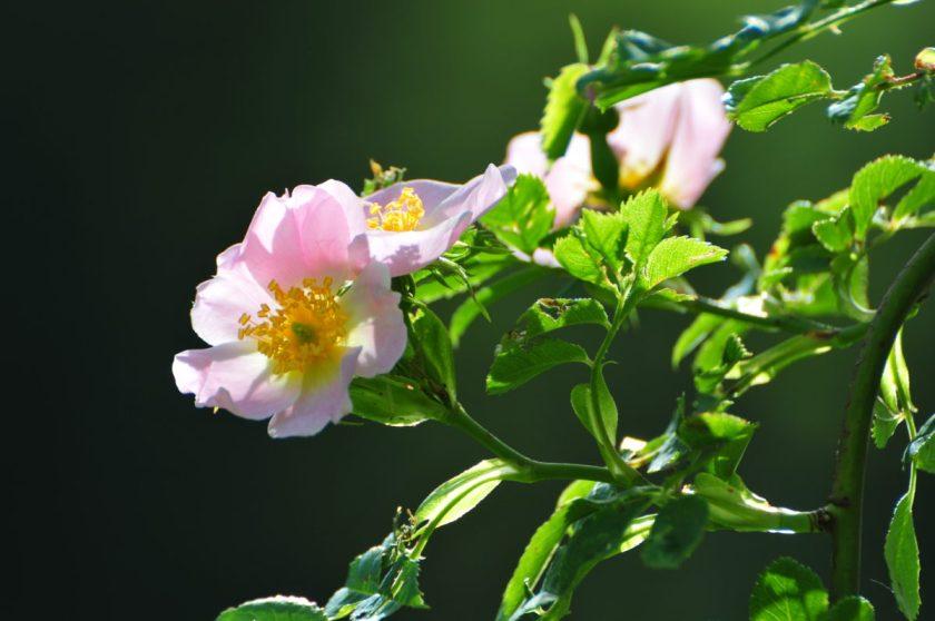 Fleur d'Églantier (Wild Rose)