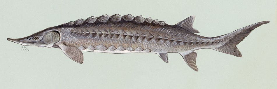 Acipenser oxyrinchus, de Atlantische steur © Fish and Wildlife Service, USA