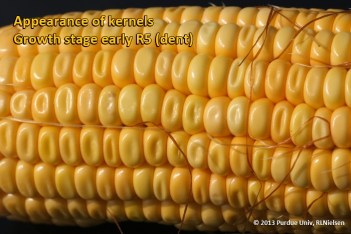 Appearance of kernels. Growth stage early R5 (dent).