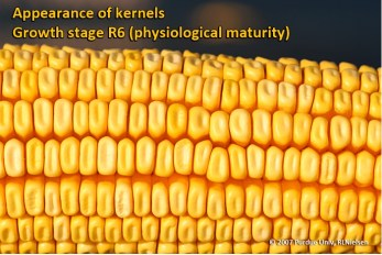 Appearance of kernels. Growth stage R6 (physiological maturity).