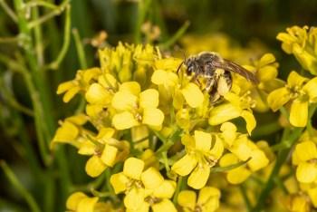 Solitary bee working yellow rocket (mustard) flowers