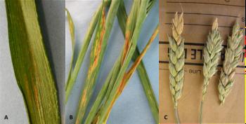 Figure 1. A- Wheat strip rust, B-Septoria leaf spot, and C-Fusarium head blight. (Photo credits: PPDL)