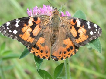 Painted lady butterfly feeding on clover.