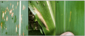 Figure 1. Examples of A- gray leaf spot, B-northern corn leaf blight, and C-northern corn leaf spot lesions on a corn leaf. Photo Credits: Darcy Telenko