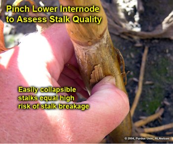 Pinch lower internode to assess stalk quality.