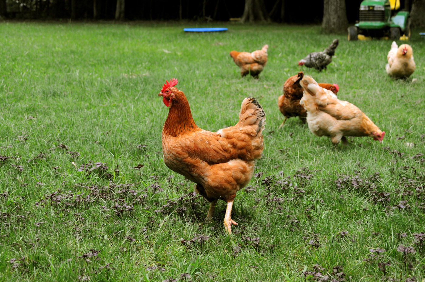 backyard chickens provide fun way to enjoy fresh eggs mississippi state university extension