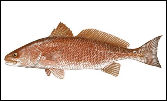 Figure 1. Red drum.  Source: Gulf FINFO (http://gulffishinfo.org/).