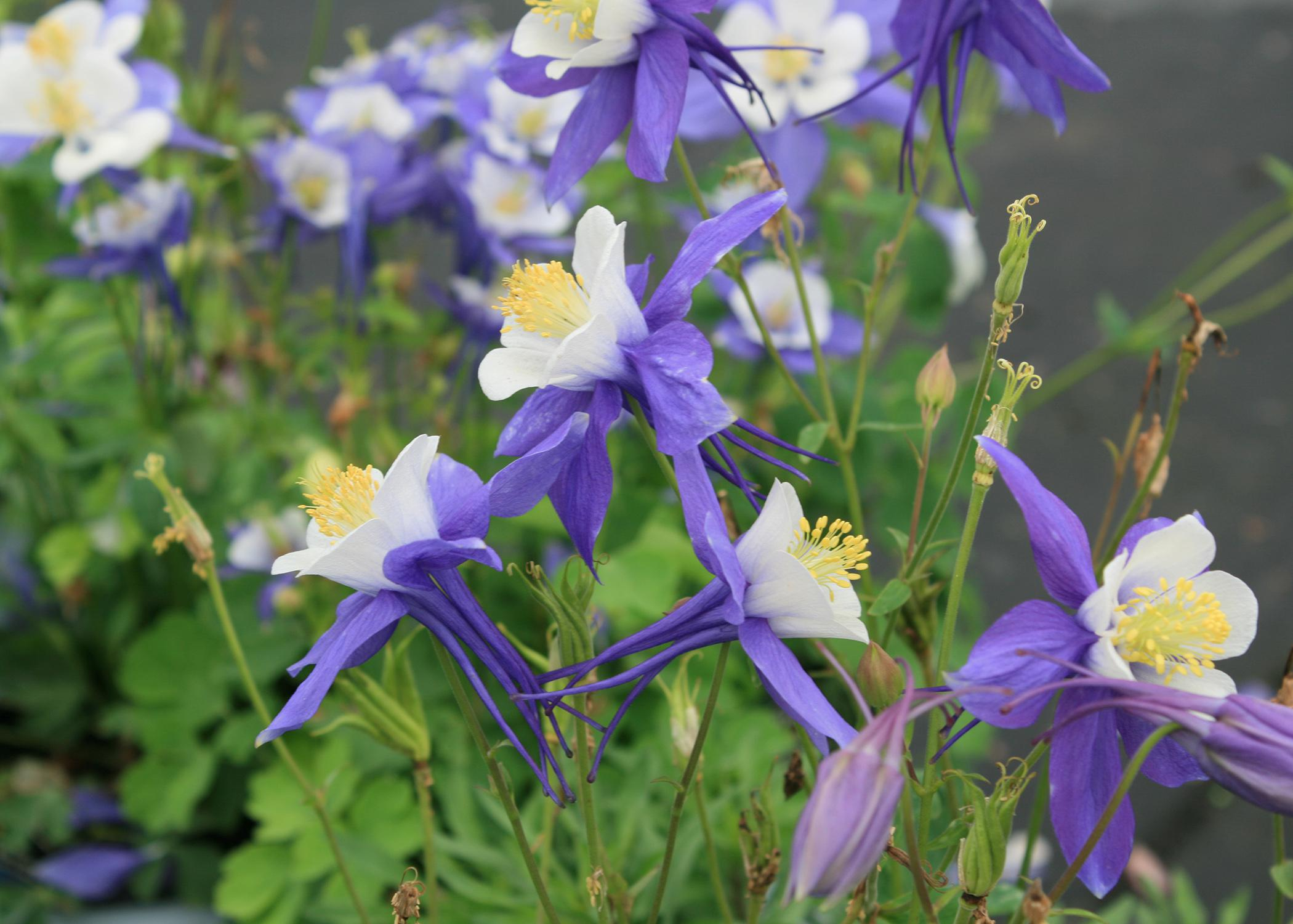 Try columbine as an annual in MS gardens | Mississippi ...