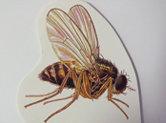 Communément appelée mouche a fruits, elle est mince et de très petite taille (3 mm). On la retrouve surtout où il y a présence de fruits en état de décomposition ou de liquides en fermentation, où la femelle y déposera ses œufs. La ponte est de 25 à 35 œufs par jour. Les larves s'enfouissent et se nourrissent de ces matières fermentées. Sa présence est plus désagréable que dommageable. Son cycle de vie complet varie de 8 à 10 jours.
