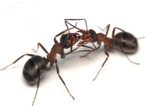 extermination fourmis fourmis charpenti re montr al exterminateurs associ s. Black Bedroom Furniture Sets. Home Design Ideas