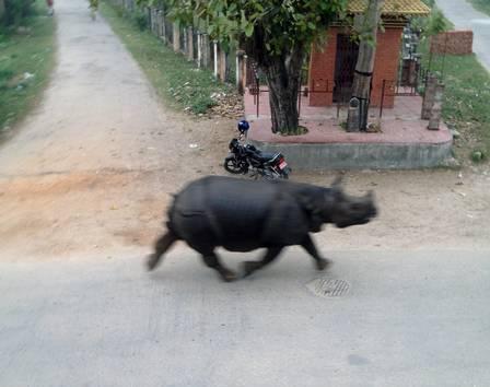 Rinoceronte corre pelas ruas de cidade do Nepal
