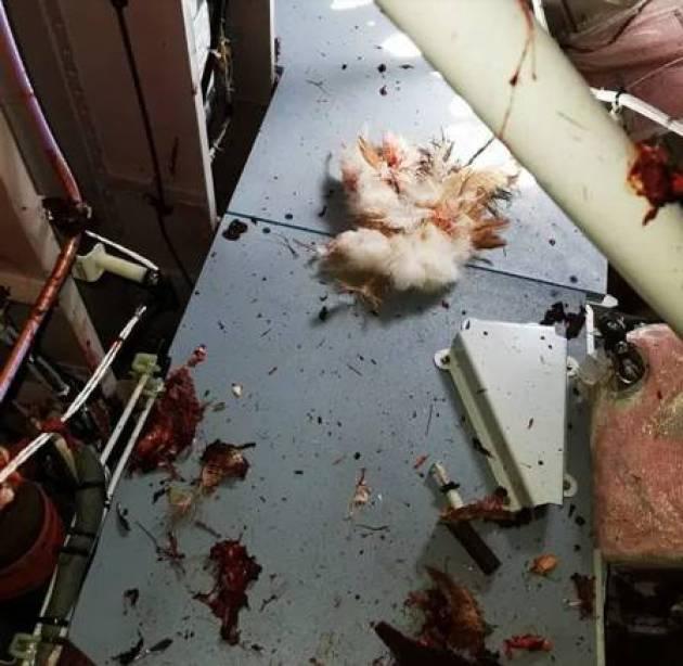 Restos mortais de pássaro que colidiu com Airbus