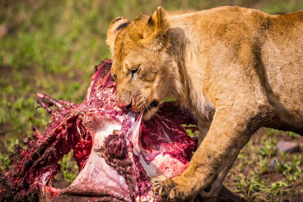 Feeding Lion